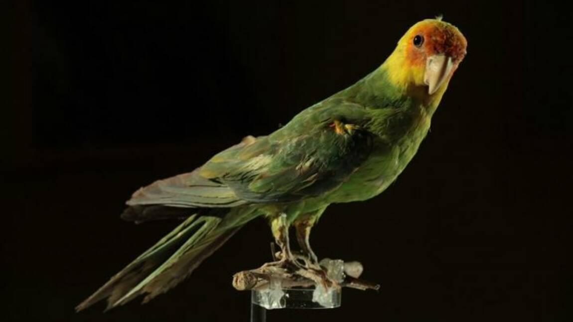 Le seul perroquet natif des Etats-Unis aurait disparu à cause de l'homme
