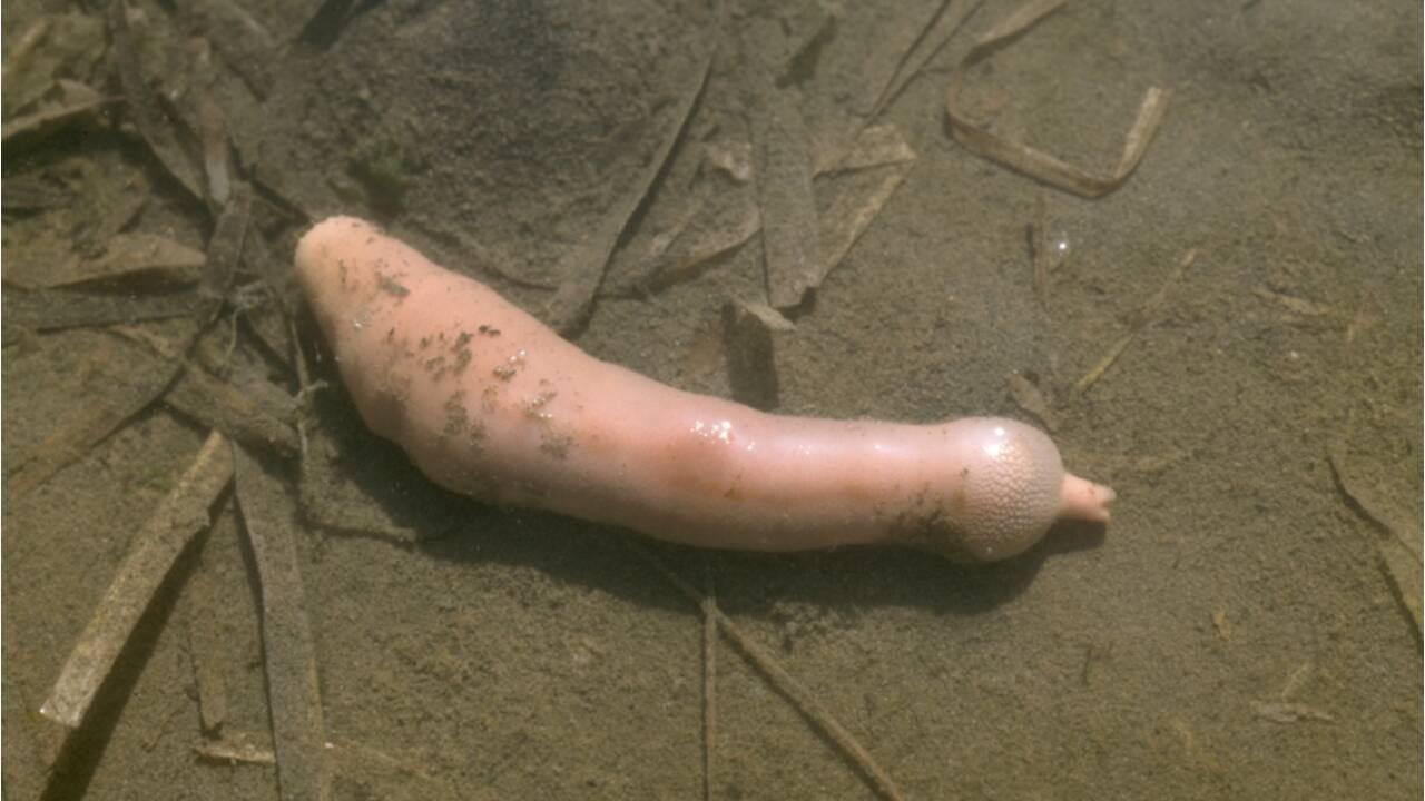 """Des milliers de """"poissons-pénis"""" échoués sur une plage californienne"""