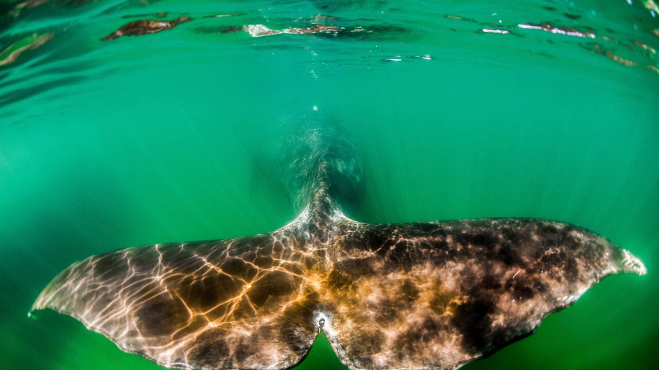 La baleine boréale, mammifère à la plus grande longévité, pourrait vivre jusqu'à 268 ans
