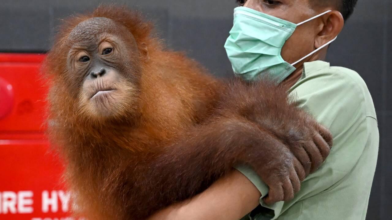 Bali: le bébé orang-outan caché dans une valise retourne dans la nature