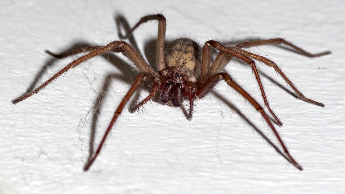 Une nouvelle araignée qui ronge la chair découverte au Mexique