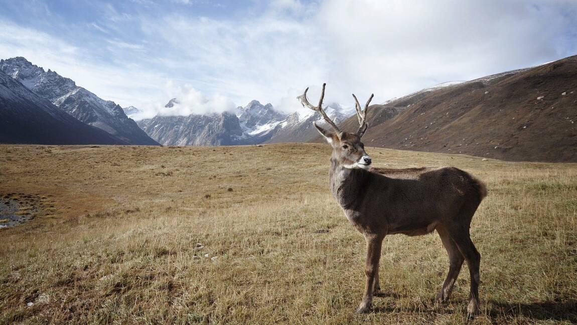 Les 5 infos à savoir sur le caribou