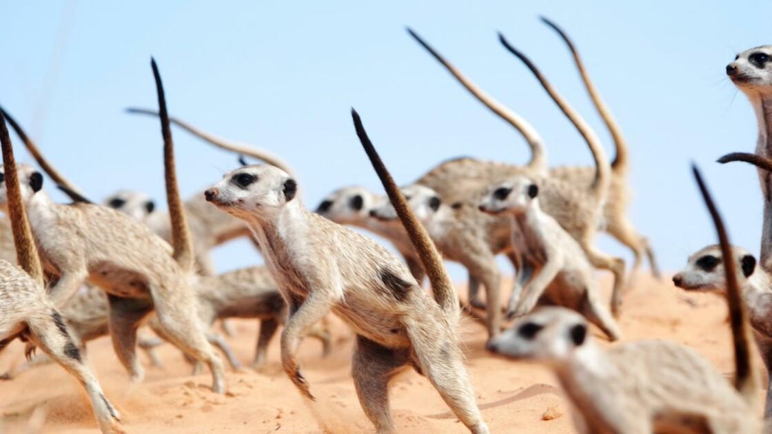 """Pour défendre leur territoire, les suricates s'engagent dans une """"danse de guerre"""""""
