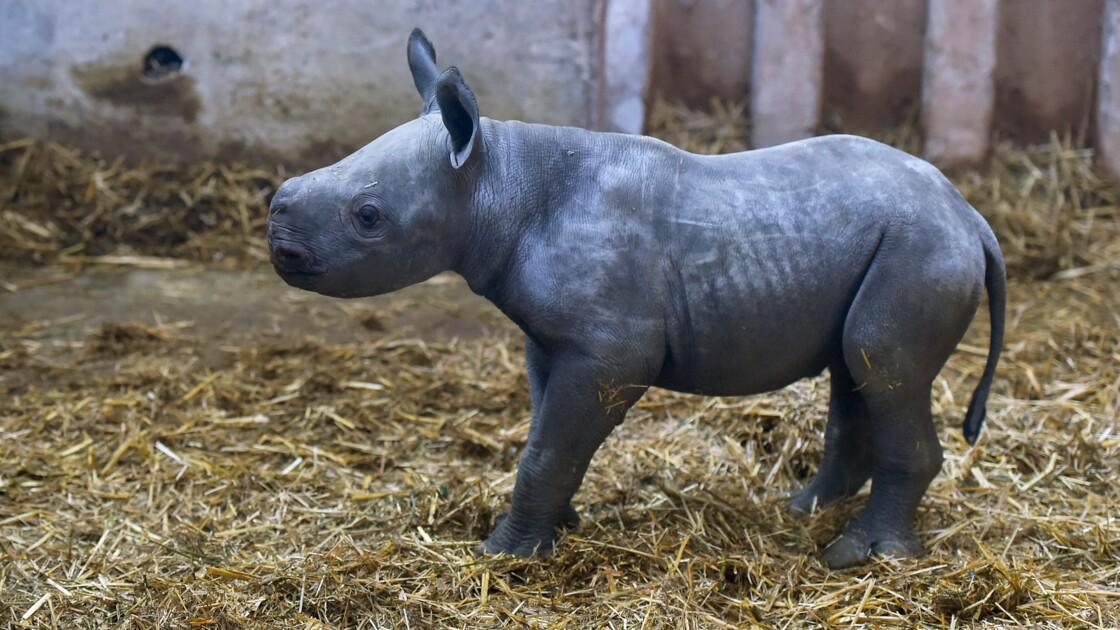 Bassin d'Arcachon : naissance d'un bébé rhinocéros noir, première en France selon le zoo