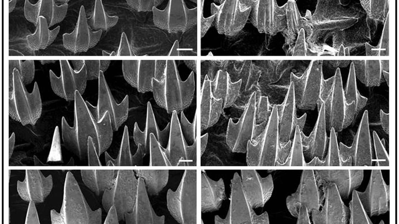 En devenant plus acides, les océans pourraient affecter la peau des requins