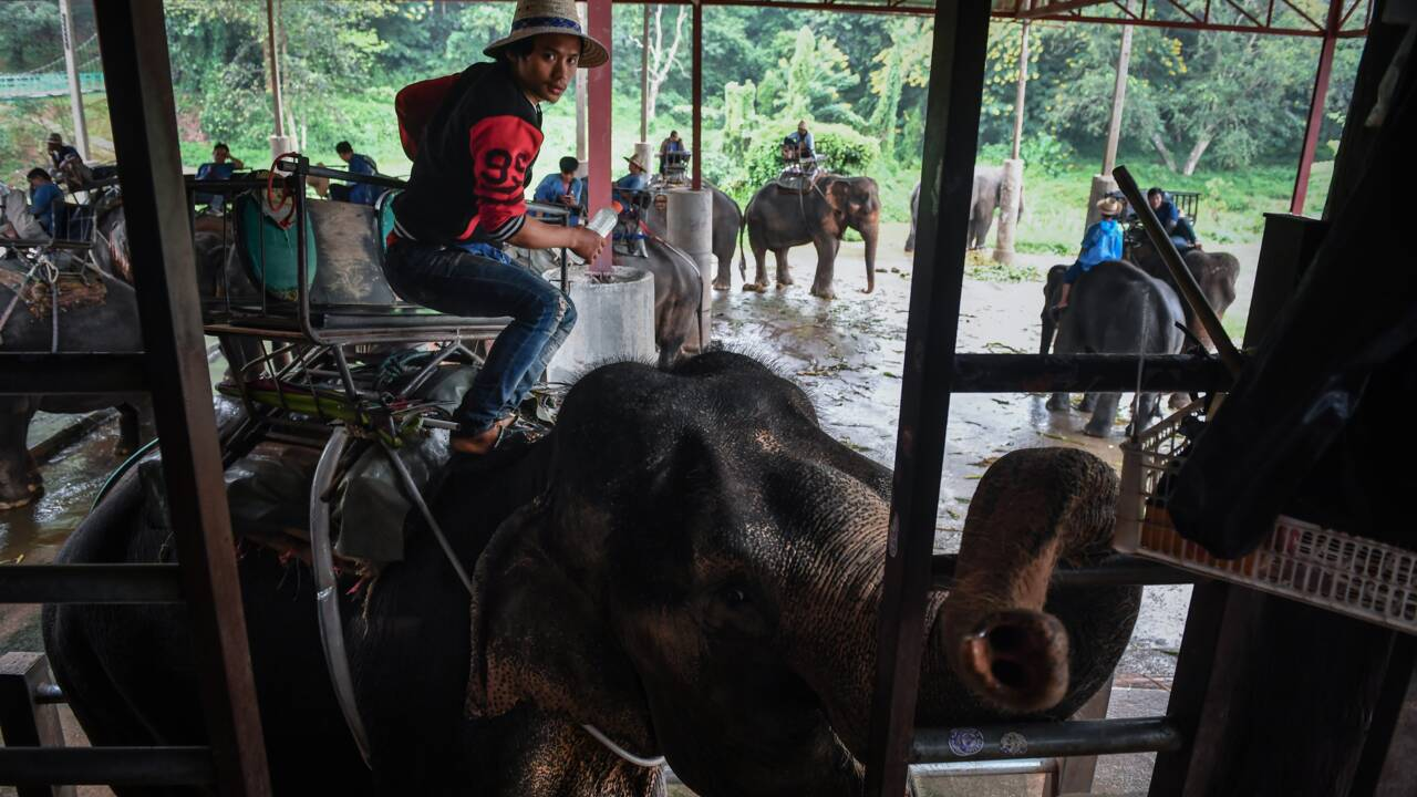 """En Thaïlande, le sombre envers du décor pour les """"éléphants à touristes"""""""