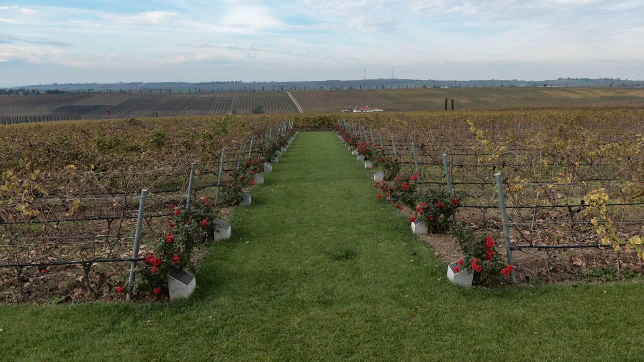 Dans les vignobles grecs, retour aux cépages locaux pour résister au réchauffement climatique