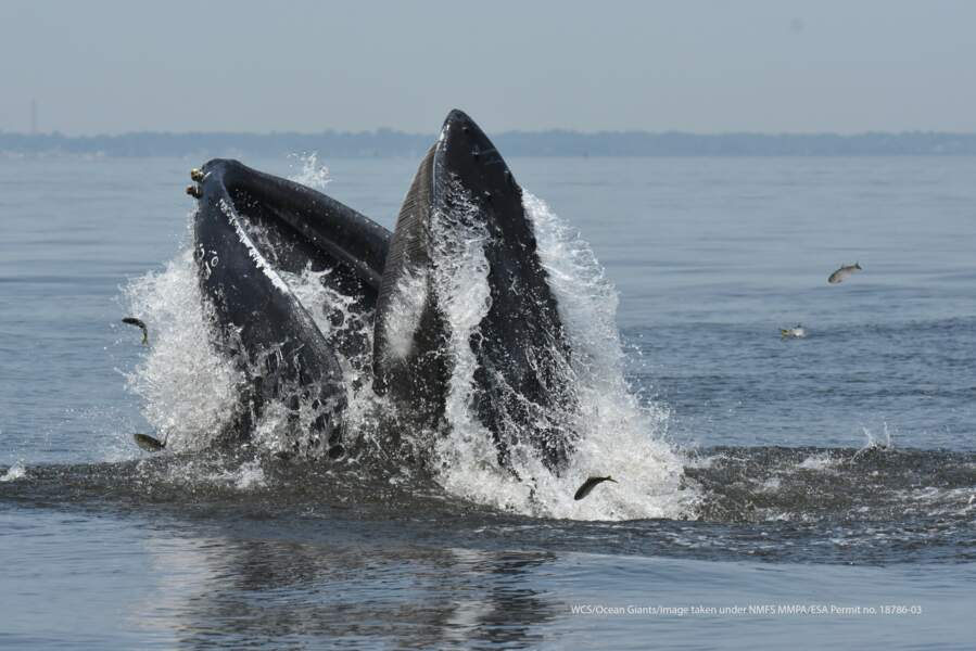 Des baleines abondantes