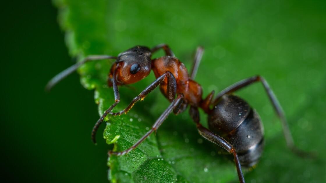 Les 5 infos insolites à savoir sur la fourmi