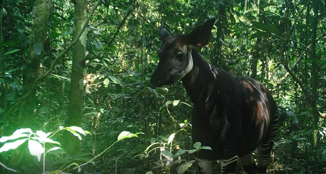 Au cœur d'une réserve d'okapis