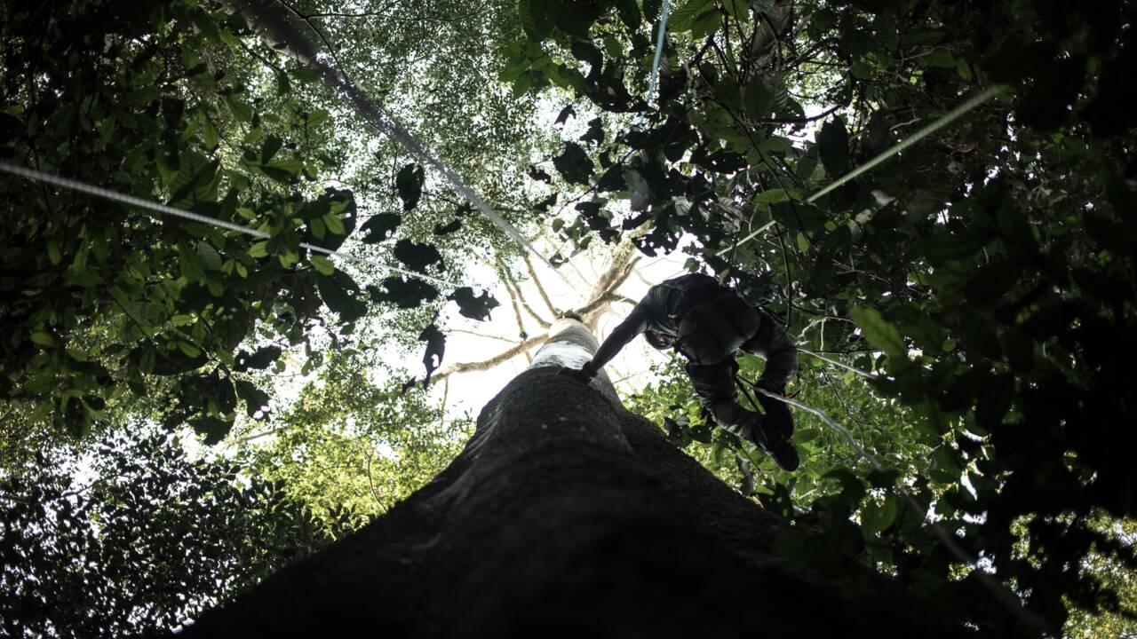Dans les forêts centrafricaines, un mystérieux papillon géant échappe aux scientifiques