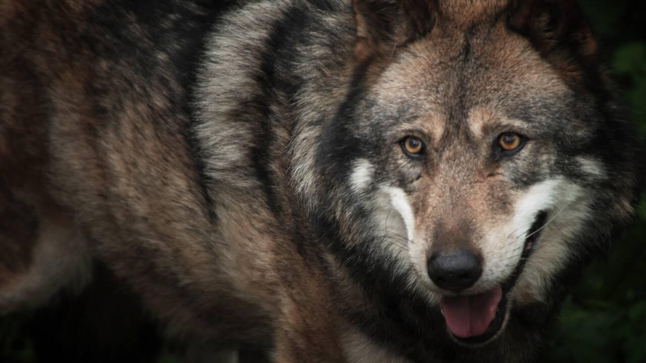 Belgique: un loup vagabond soupçonné d'avoir mangé un kangourou
