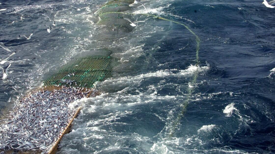 Fin de la pêche au chalut pélagique au large de Ré pour protéger bars et dauphins