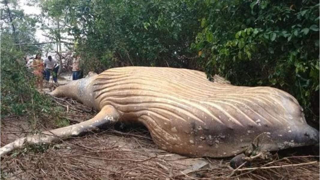 Une baleine à bosse retrouvée échouée dans la forêt amazonienne intrigue des biologiste