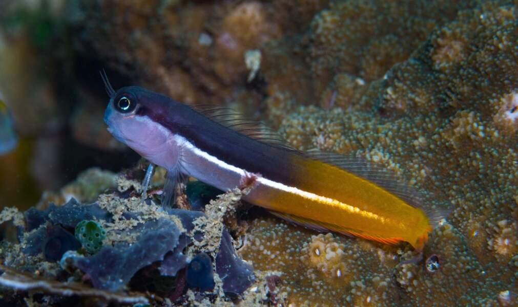 Ecsenius springeri