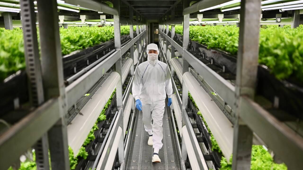 """Au Japon, des """"usines à légumes"""" en ville pour remplacer la campagne"""