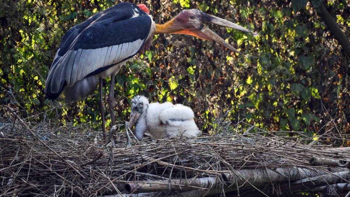 Inde: nouvel espoir pour les marabouts argala, au bord de l'extinction