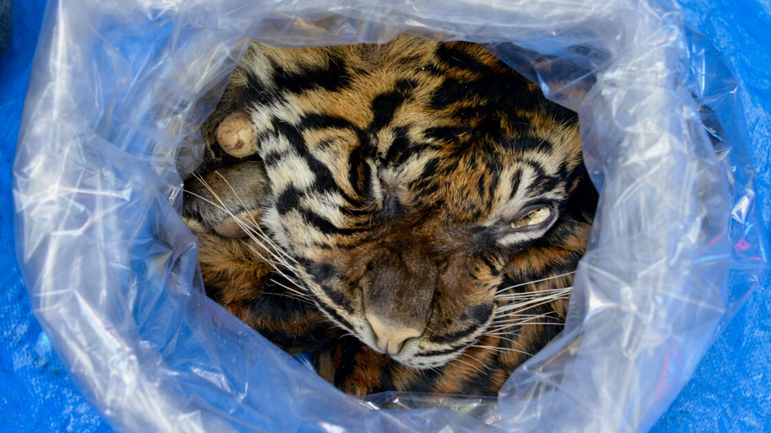 Indonésie : un homme arrêté en tentant de vendre la peau d'un tigre de Sumatra