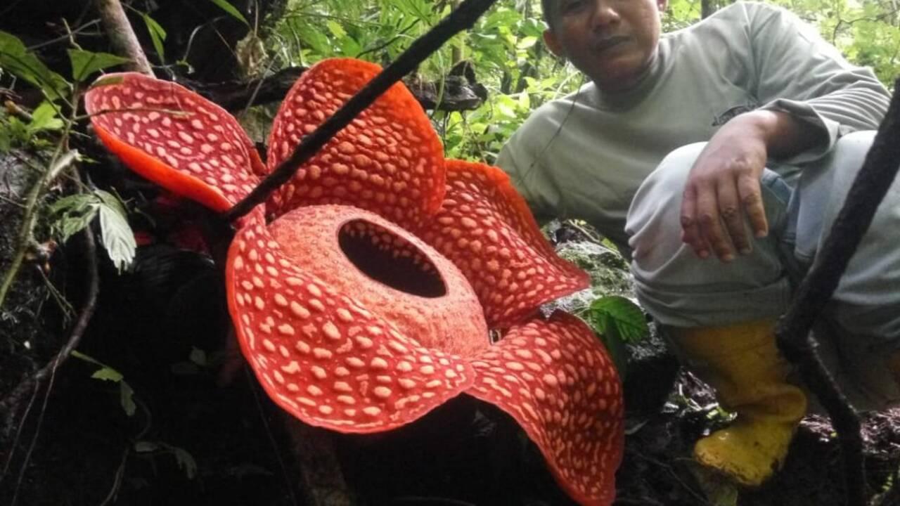 La plus grande fleur du monde découverte dans une réserve en Indonésie
