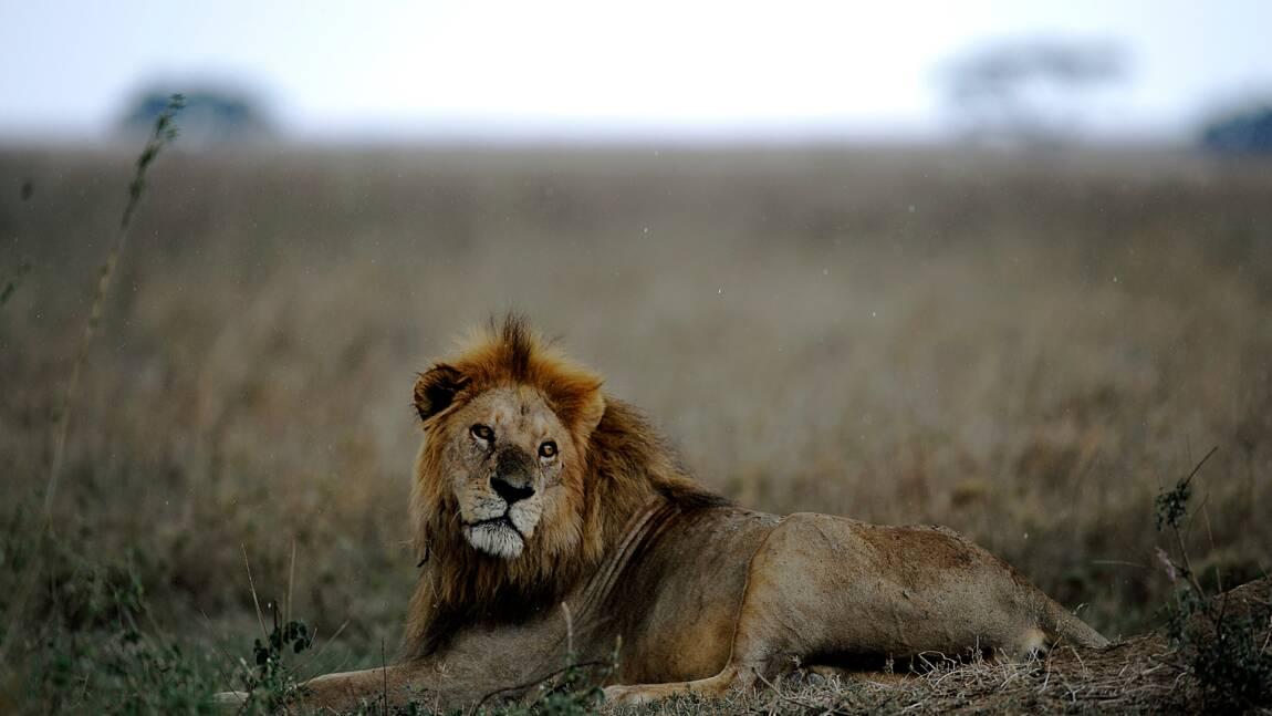 Afrique du Sud: arrestation de quatre individus pour vente illégale de pattes de lions