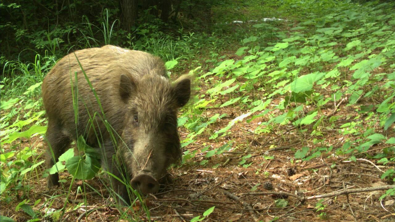 Huit ans après, la faune sauvage prospère dans les zones abandonnées de Fukushima