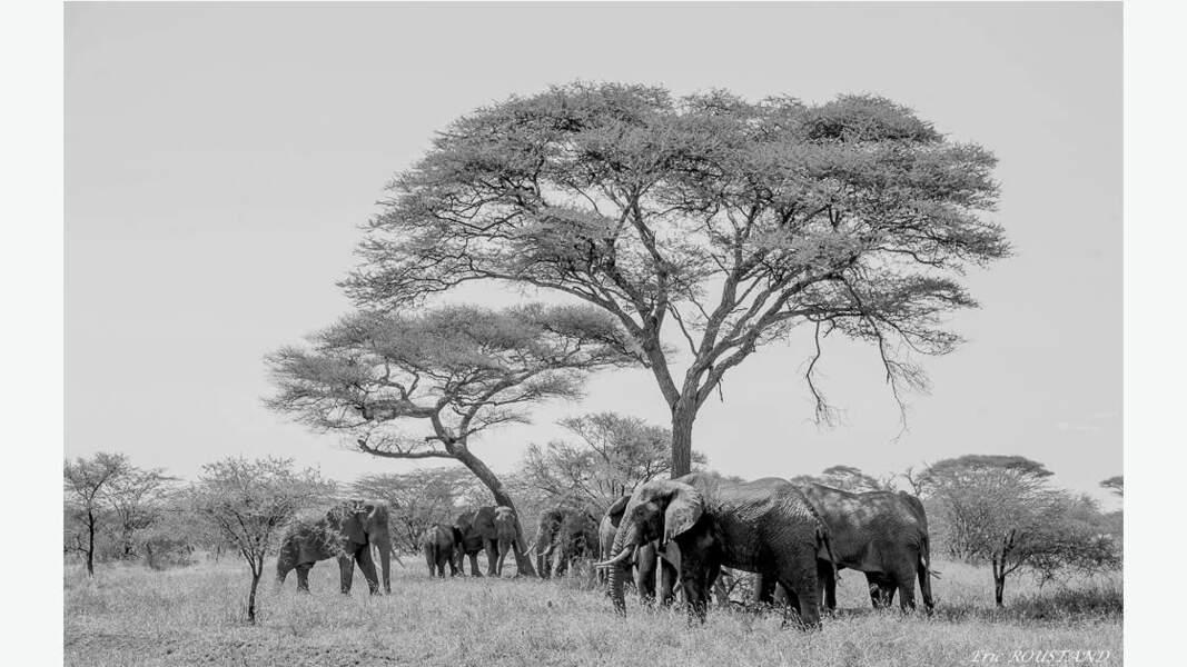 Eléphants dans la savane