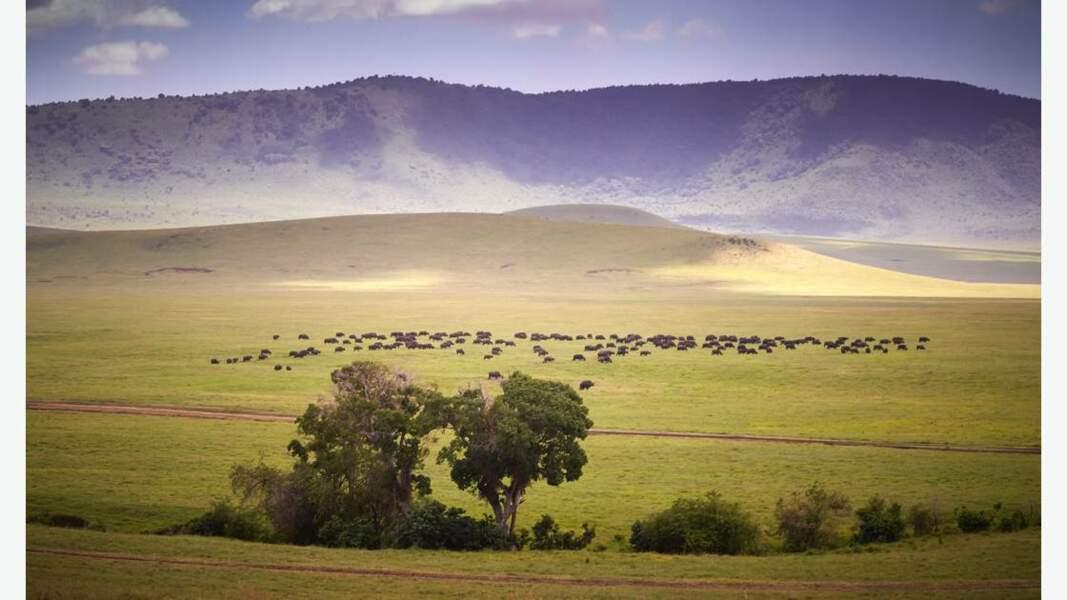 Troupeau de buffles dans le cratère du Ngorongoro