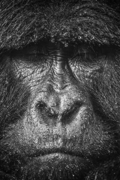 Gorille de montagne par Sylvain Lefebvre