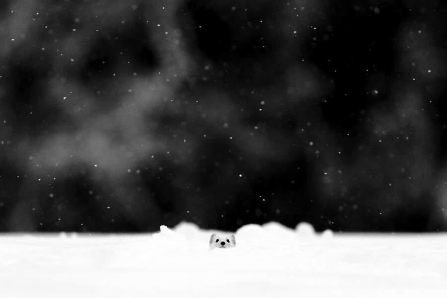 Hermine par Denis Girard