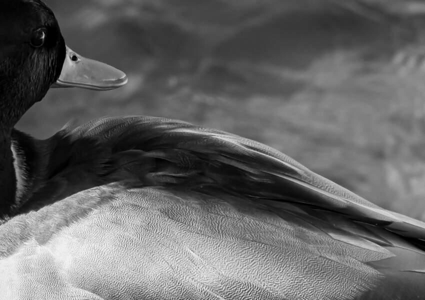 Canard colvert par Julien Butheau