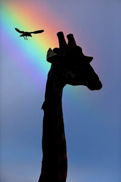 Girafe massaï par Tony Crocetta