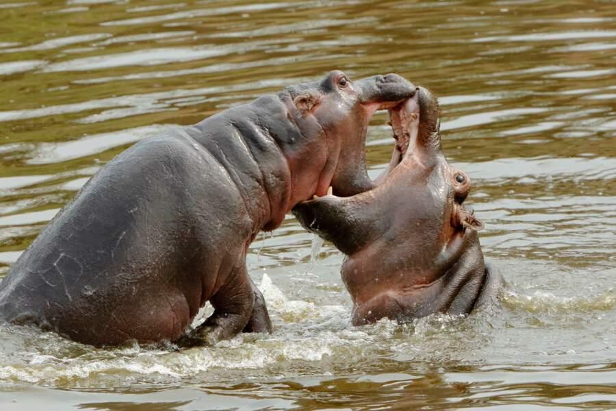 Hippopotames par Alcalay-Marcon