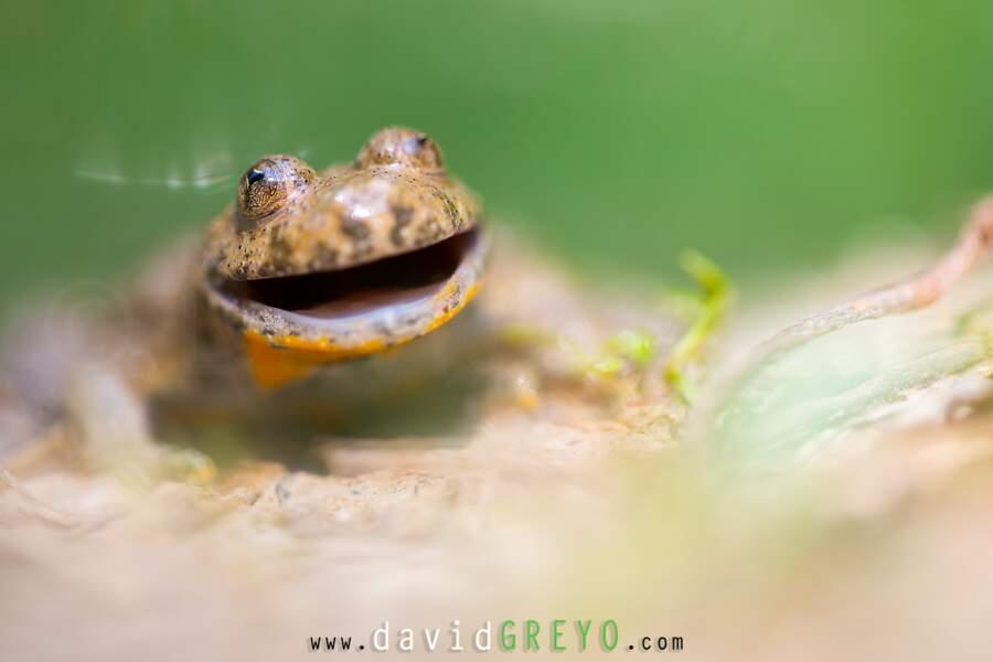 """Grenouille """"sonneur à ventre jaune"""" par David Greyo"""