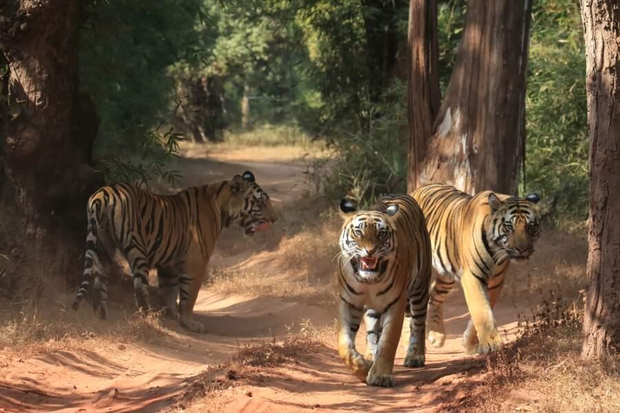 Tigres Bandhavgarh par Claudy Guiot