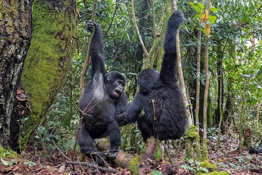 Gorilles par Fabrice Guérin