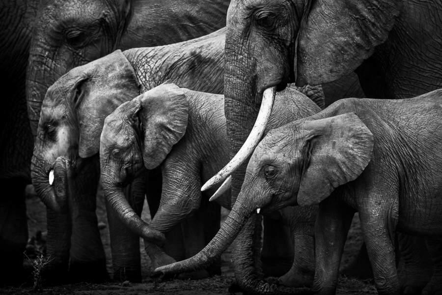 Eléphants de savane d'Afrique par Nicolas Orillard-Demaire