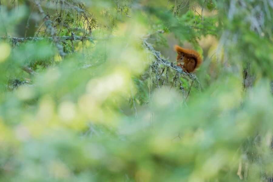 Ecureuil-roux par Guilhem Battistella