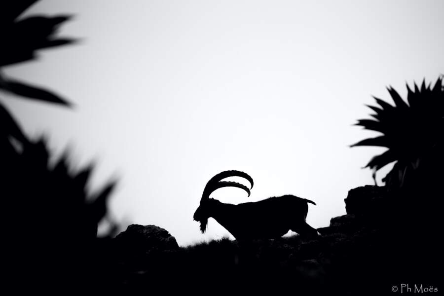 Ibex Walia par Philippe Moës