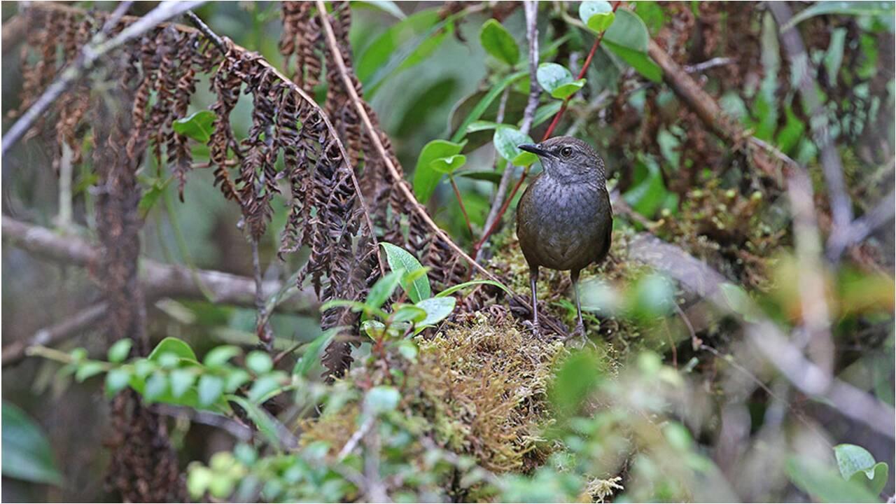 Cinq nouvelles espèces d'oiseaux identifiées sur des îles indonésiennes