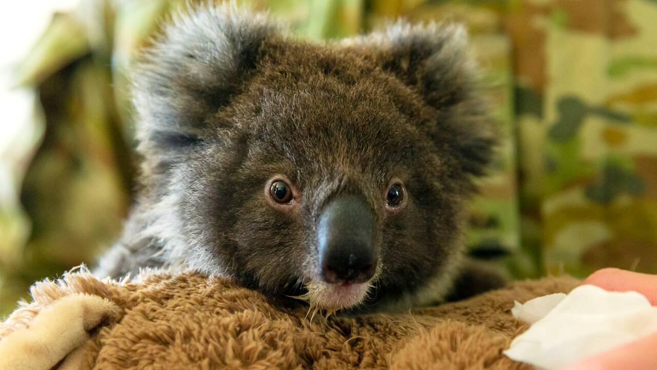 Feux en Australie: une pétition pour introduire le koala en Nouvelle-Zélande
