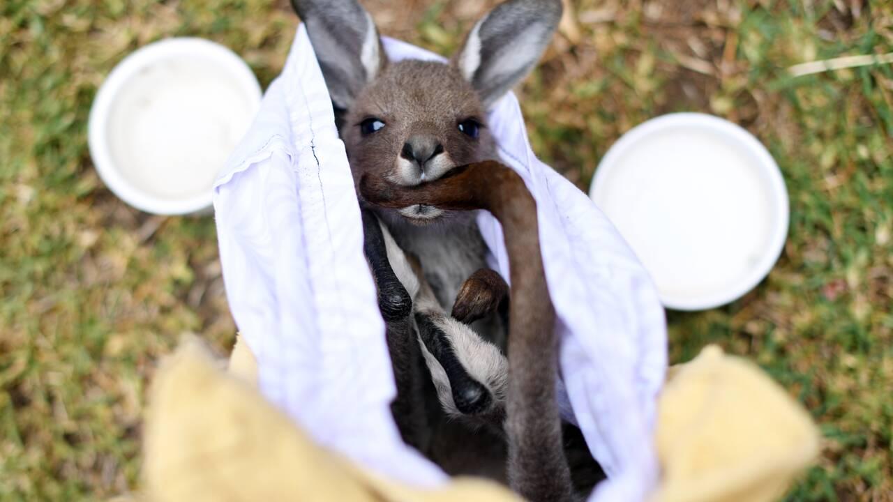 Australie: trois milliards d'animaux tués ou déplacés par les feux de 2019-2020