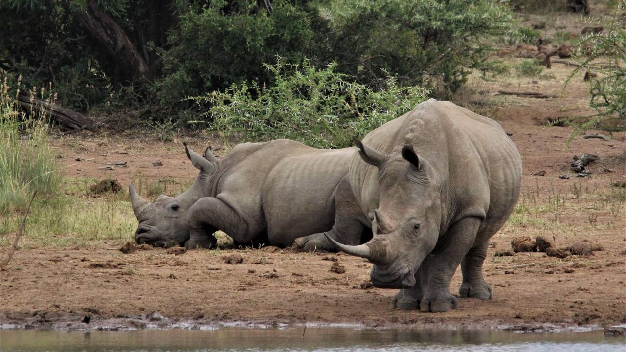 Des scientifiques ont réussi à créer un nouvel embryon de rhinocéros blanc du nord