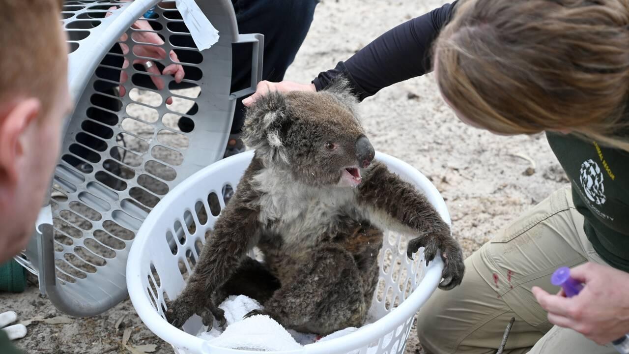 Australie : course contre la montre pour sauver les animaux sur l'île Kangourou