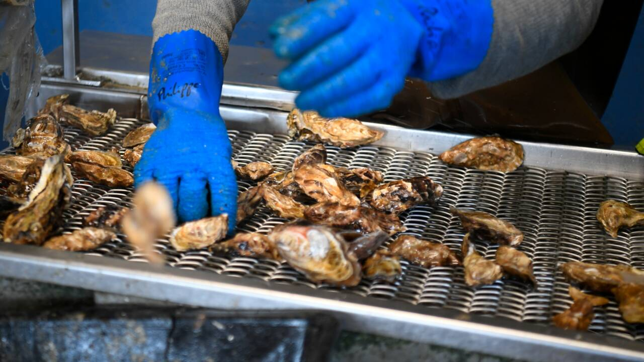En France, les ostréiculteurs sont victimes de la pollution des mers
