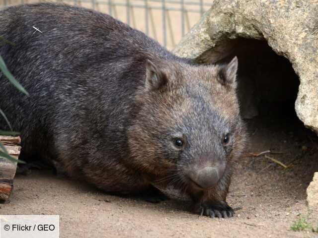 Australie : les wombats ont sauvé d'autres animaux pendant les incendies