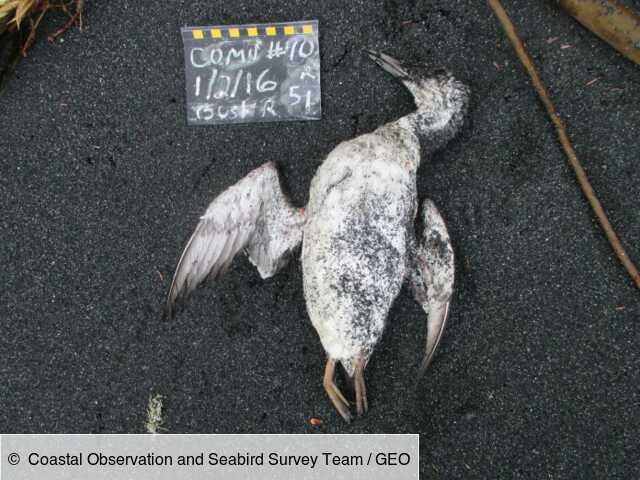Une vague de chaleur sans précédent a tué un million d'oiseaux marins dans le Pacifique