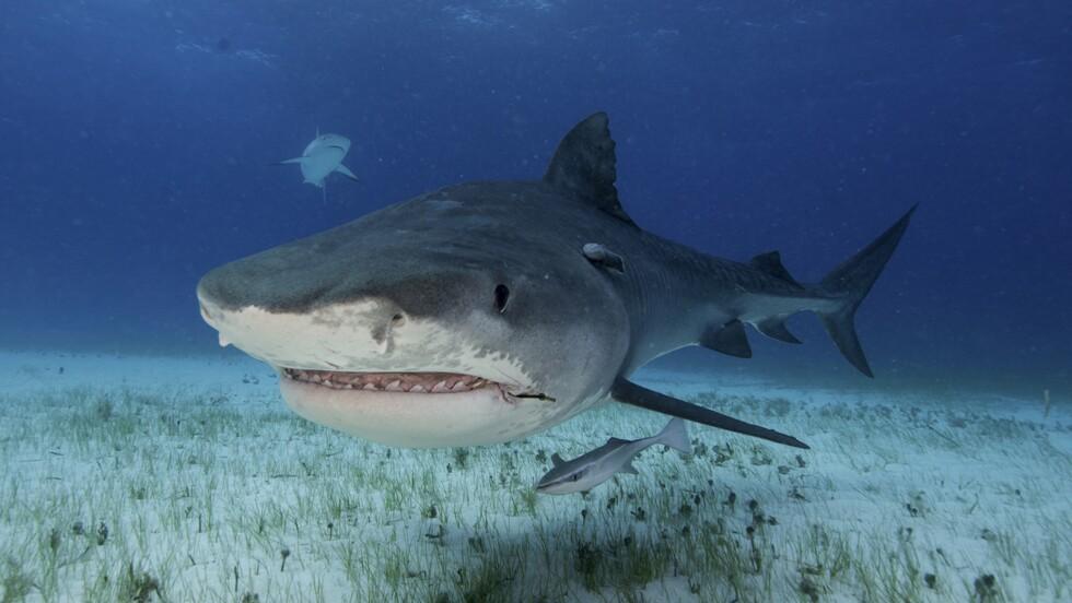 Pêche : les hameçons, une menace à long terme sous-estimée pour des millions de requins