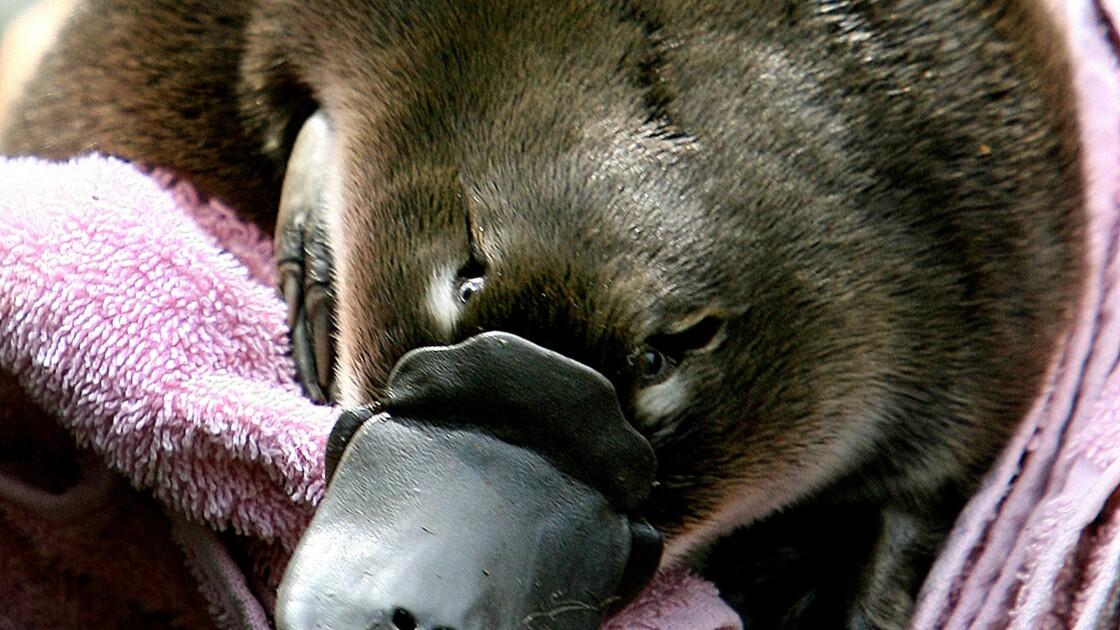 Australie: l'ornithorynque sous forte pression à cause du climat