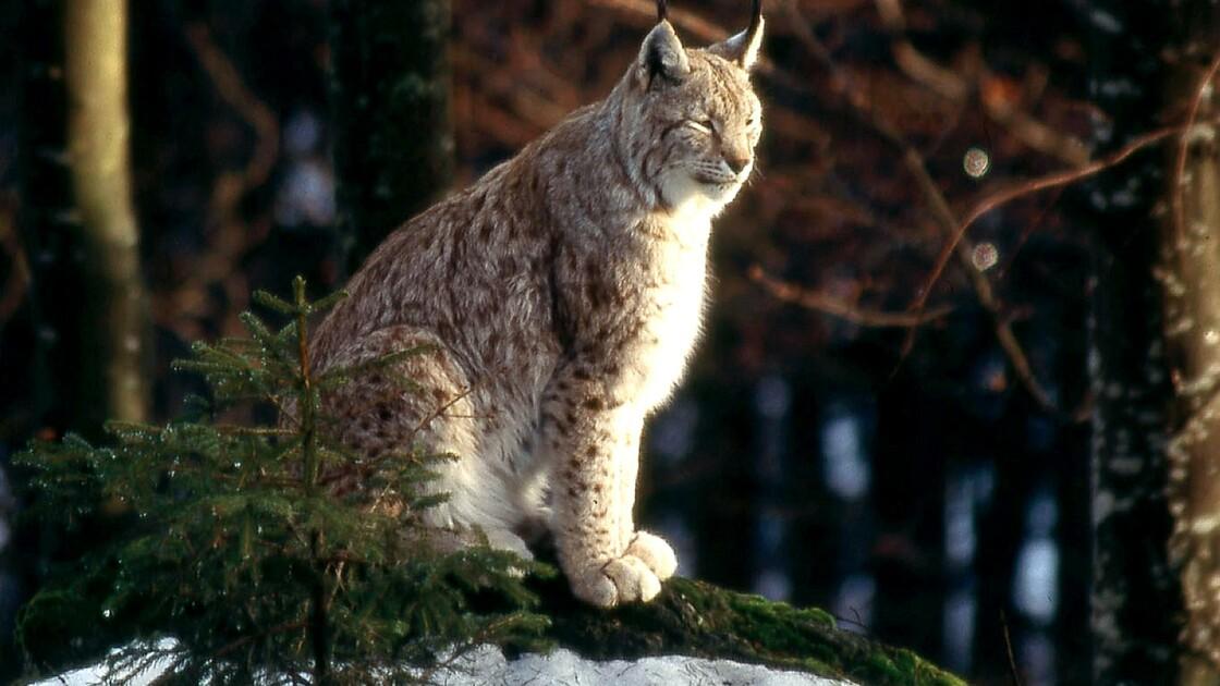 Un lynx, animal protégé, abattu par un braconnier dans le Haut-Rhin
