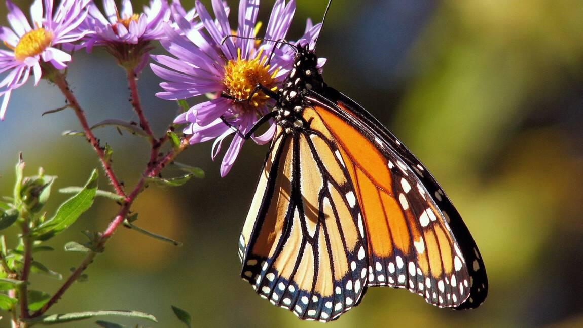 La population des papillons monarques dangereusement basse en Californie